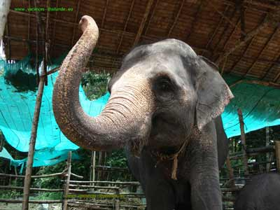 english photo 52, villa rental Paris with pool and ride with elephants on the island of Koh Samui in Thailand